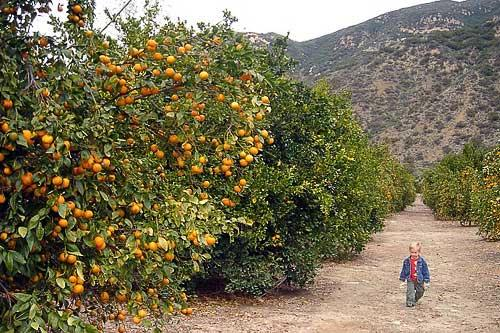 The citrus groves of Friend's Ranch in Ojai, CA.