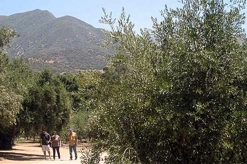 Ojai Olive Oil sits just beyond the limits of the Los Padres National Forest.