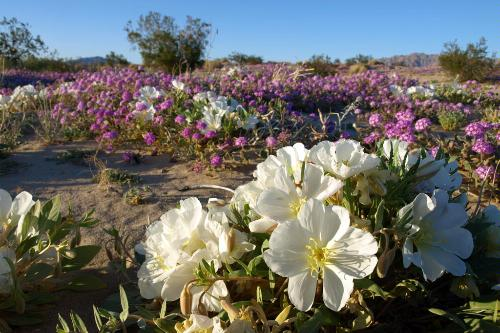 Wildflowers blooming in Joshua Tree National Park in California.