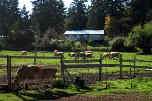 The herd at Moonstruck Organic Cheese.