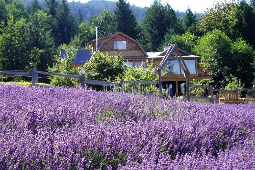 The fields of Sacred Mountain Lavender Company at their summer peak.