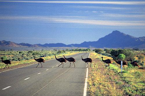 Emus crossing the road. © SATC. Photo by Adam Bruzzone