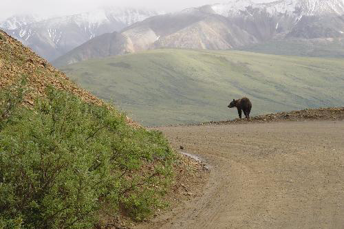 A bear in Denali National Park