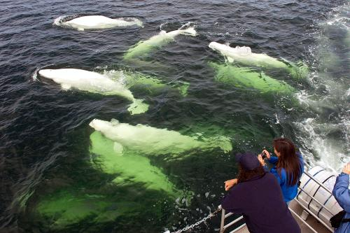 Whale watching tours are popular in Churchill, Manitoba, known as the beluga capital of the world.