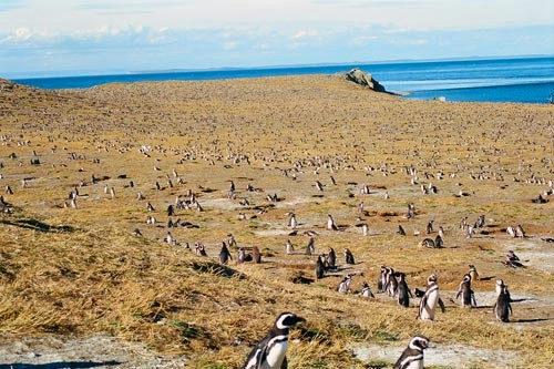 Tens of thousands of penguins breeding during summer time on the Magdalena Island, Chile.