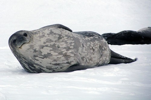 Antarctica is home to 50 to 75 million seals, including the Ross, crabeater, and leopard species. The Weddell seal is the southernmost breeding mammal in the world. Reaching up to 9.8 ft. (3m) in length and 1,100 pounds (500kg) in weight, these seals survive winter storms by hiding under ice and breathing through holes they make with their teeth.