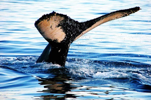 Whale-watching off Cape Breton in late summer gives you the chance to glimpse more than a dozen species.