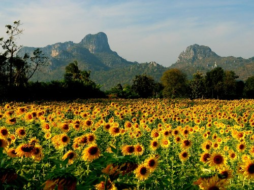 Sunflowers in Lopburi, Thailand.