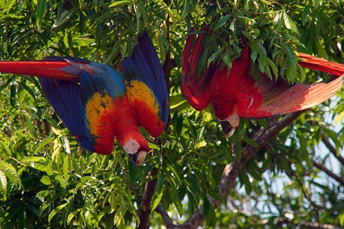 Two scarlet macaws hanging upside down in a tree in Corcovado National Park.