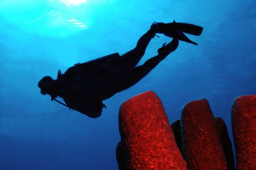 Giant tube sponge and a diver in the waters of Roatan, Honduras.