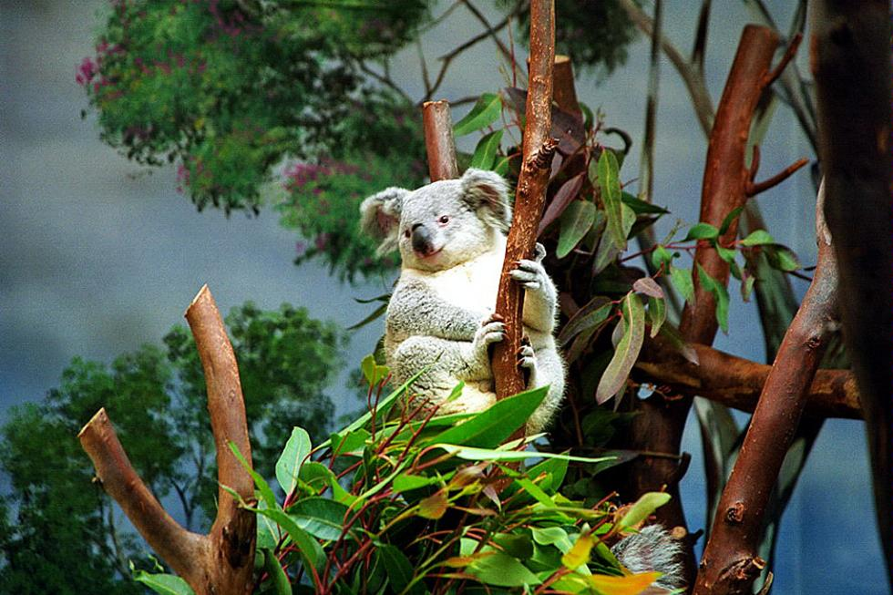 Koala at San Diego Zoo