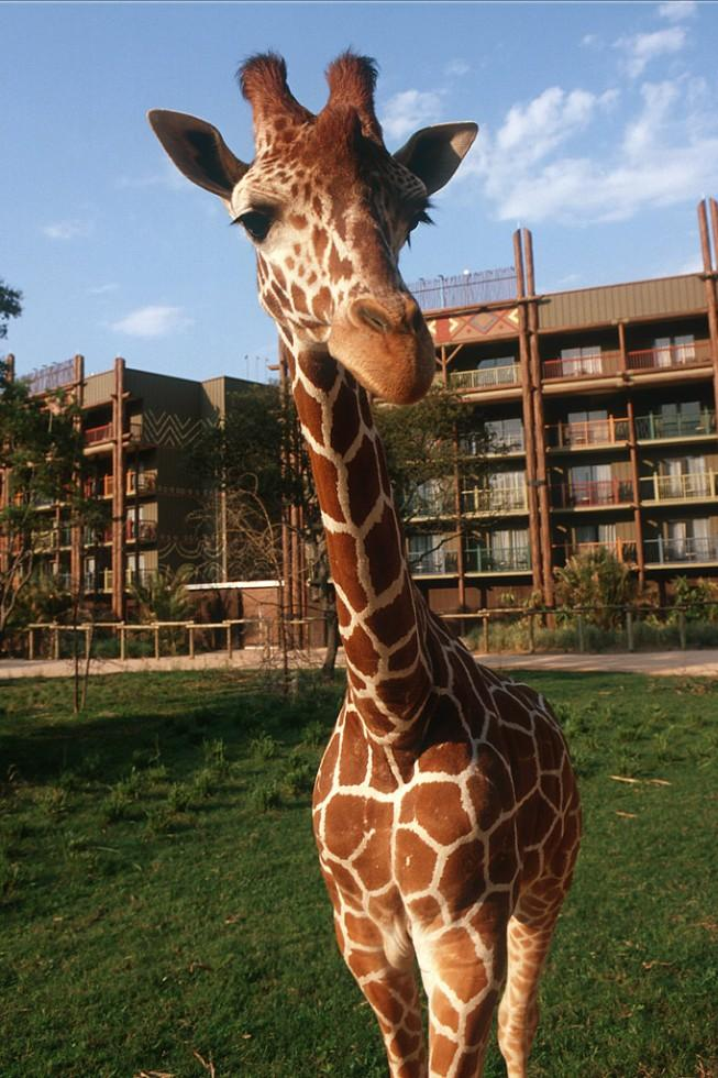 Giraffes and other exotic animals at Disney's Animal Kingdom Lodge bring the excitement and splendor of an African wildlife reserve to Walt Disney World Resort in Lake Buena Vista.